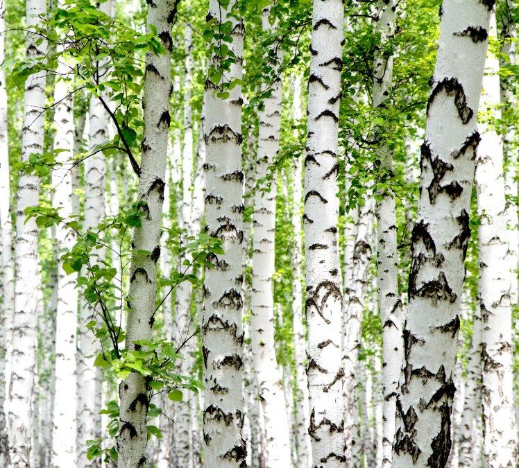 Ksylitol fiński – cukier brzozowy